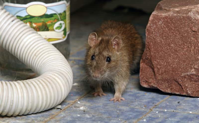 Deratyzacja krok po kroku - jak zwalczać szczury? Ceny, porady, środki deratyzacyjne