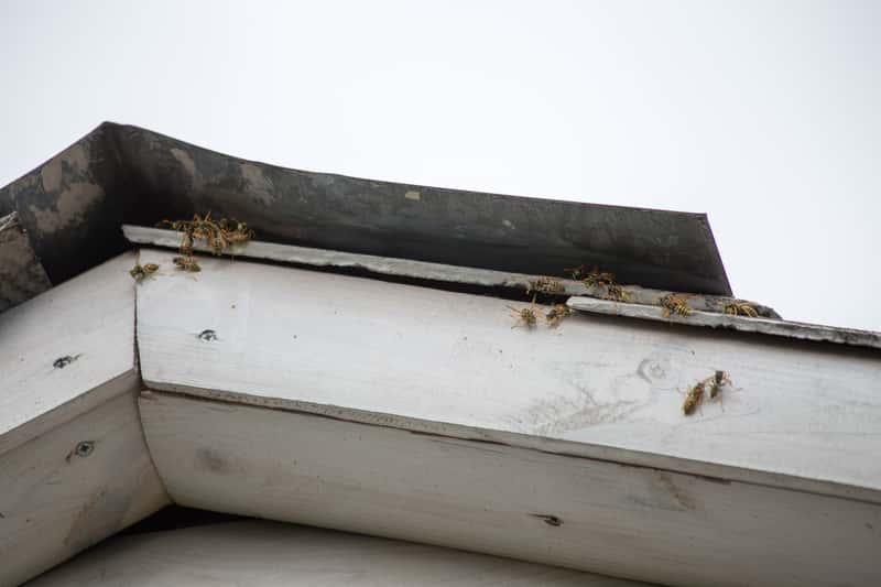 Jak zlikwidować gniazdo os lub pszczół? Oto 5 najlepszych sposobów