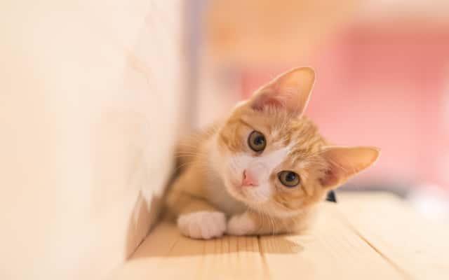Jak widzi kot? Spójrz na świat oczami swojego pupila!