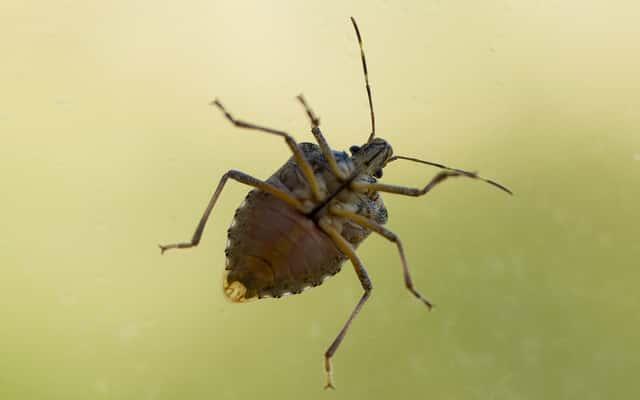 Jak wygląda pluskwa domowa? Zobacz, jak rozpoznać te małe insekty