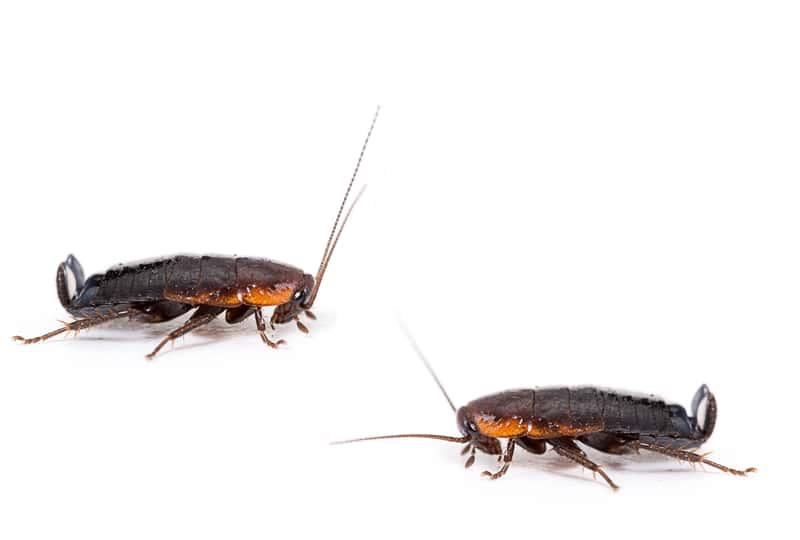 Jak wygląda karaluch i jak go nie pomylić z innymi nieproszonymi gośćmi w domu?
