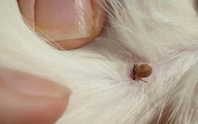 Kleszcz u kota krok po kroku - objawy, usuwanie, możliwe choroby