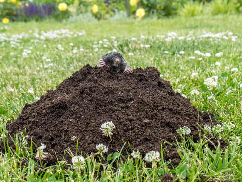 Jak się pozbyć kreta z ogrodu? Oto kilka sprawdzonych sposobów