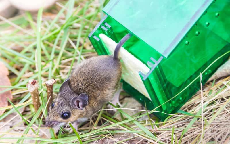 Jak złapać mysz? Skuteczne domowe sposoby na zwabienie myszy