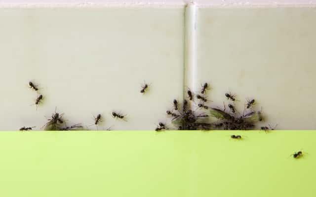Proszek do pieczenia na mrówki - skuteczny sposób na pozbycie się mrówek z domu i ogrodu