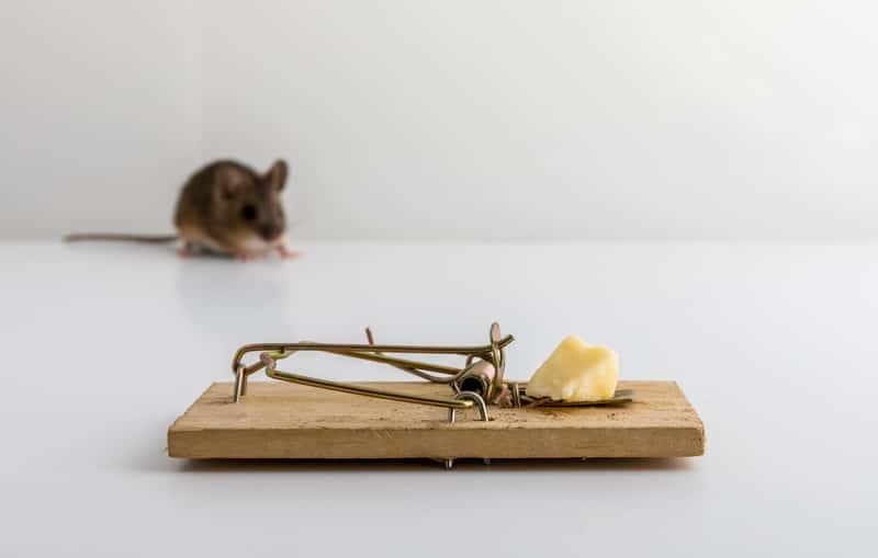 Pułapka na myszy - popularne typy pułapek, opinie o nich, skuteczność i ceny