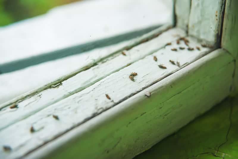 Jak się pozbyć z domu czarnych robaków? Porady i polecane preparaty
