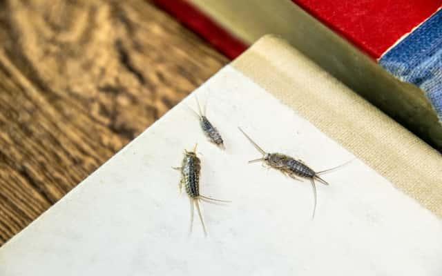 Skąd się biorą rybiki w domu - wyjaśniamy przyczyny wizyty nieproszonych gości