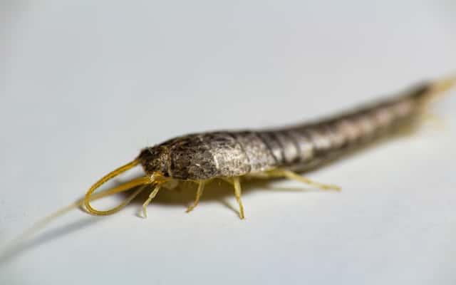 Jak pozbyć się rybików – oto 5 sprawdzonych, skutecznych metod