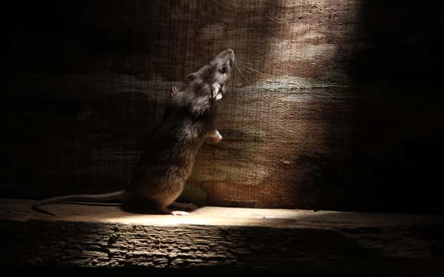 Jak wytępić szczury? Oto 4 najskuteczniejsze metody łapania szczurów