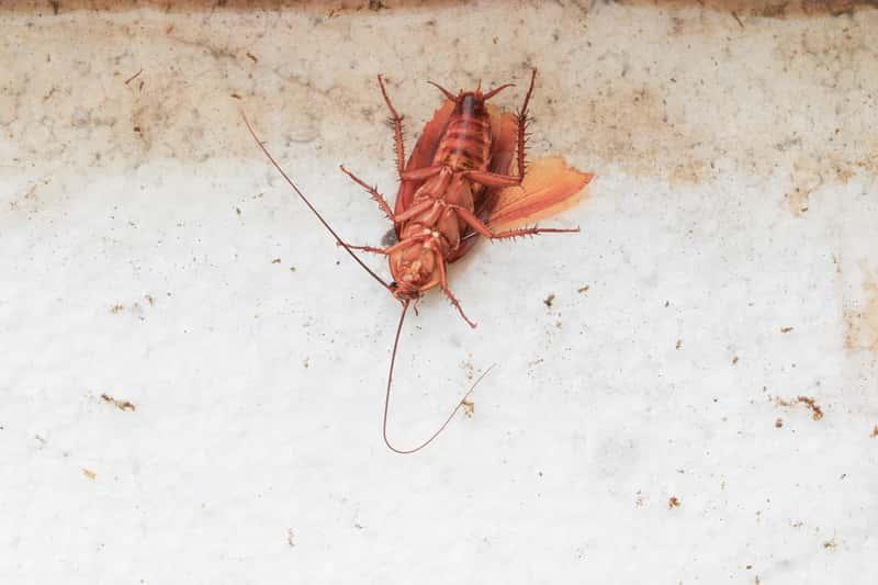 Zwalczanie prusaków krok po kroku – jak pozbyć się niechcianych insektów?
