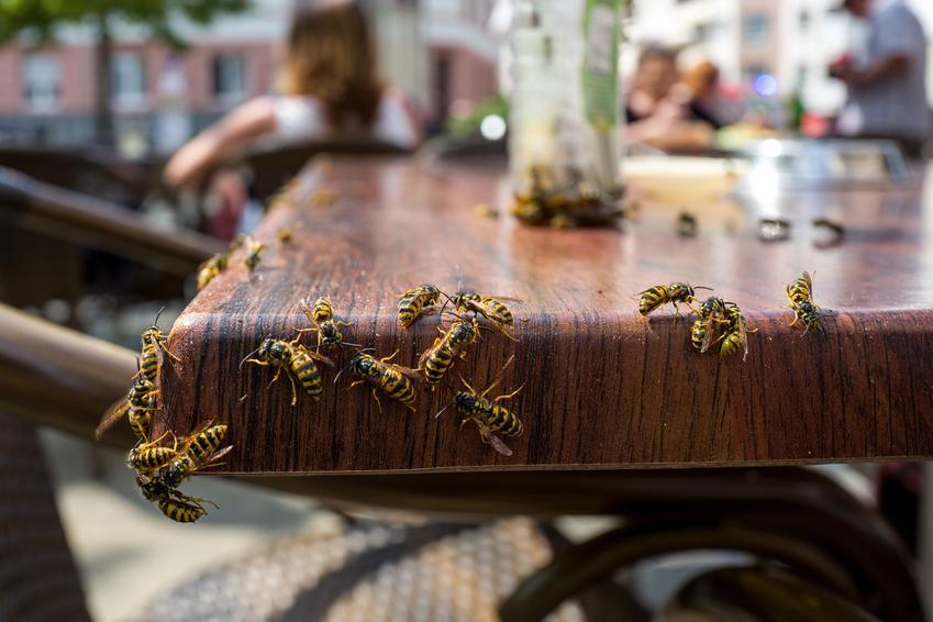 Osy na stole w ogrodzie oraz porady, jak odstraszyć osy