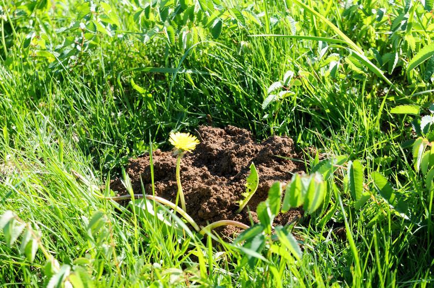 Kopczyk ziemi na trawie po nornincy, a także domowe sposoby na nornice i jak się pozbyć nornicy