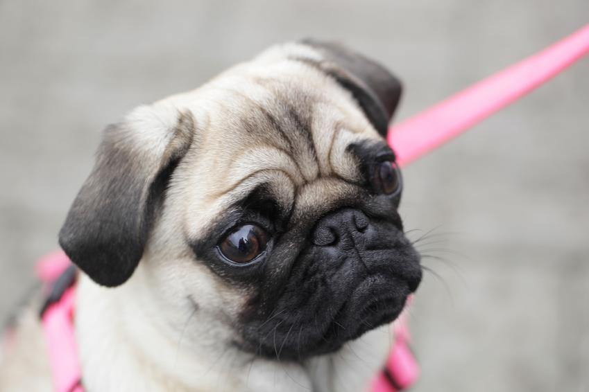 Pies na różowej smyczy oraz jak założyć szelki dla psa, czyli instrukcja krok po kroku