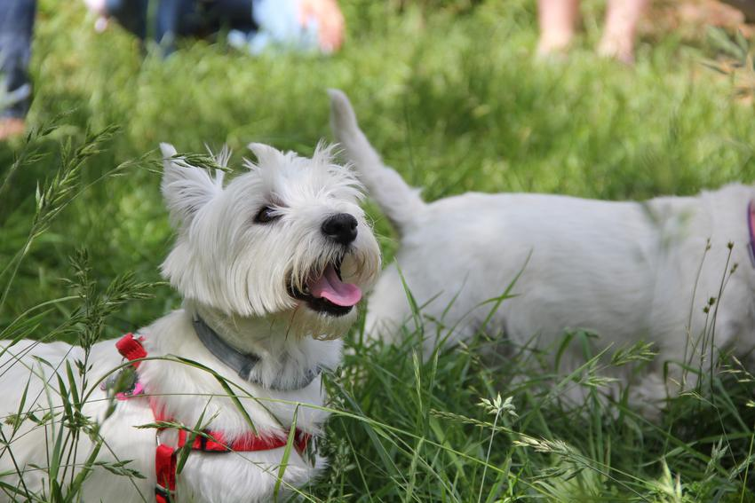Pies leżący w trawie, a także instrukcja, jak założyć szelki dla psa oraz uprząż dla psa