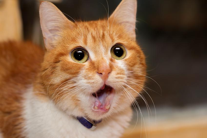 Przestraszony rudy kot, a także domowy odstraszacz kotów i straszak na koty
