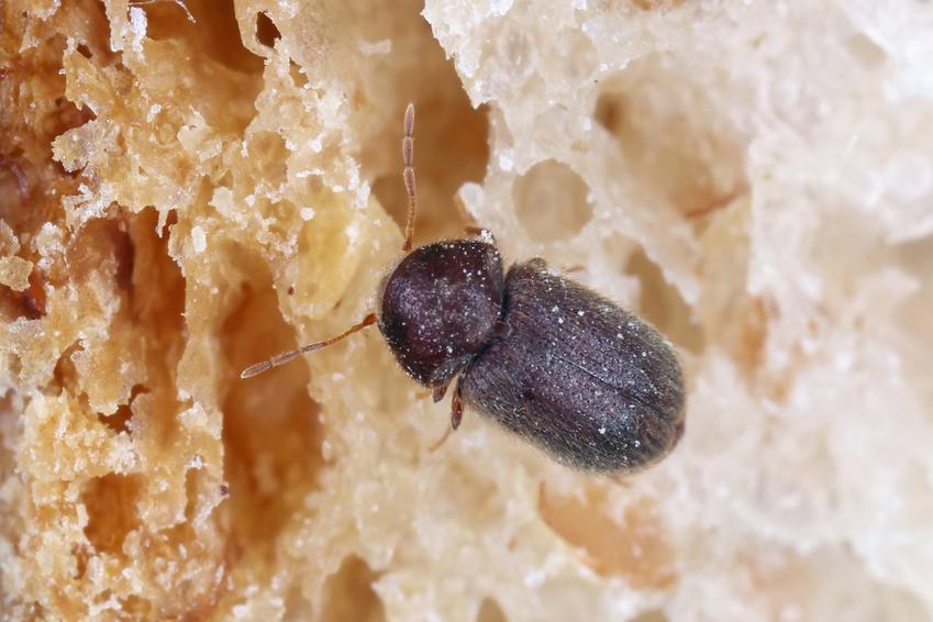 Insekt żywiak chlebowiec żerujący na jedzeniu, a także domowe sposoby i zwalczanie insektów