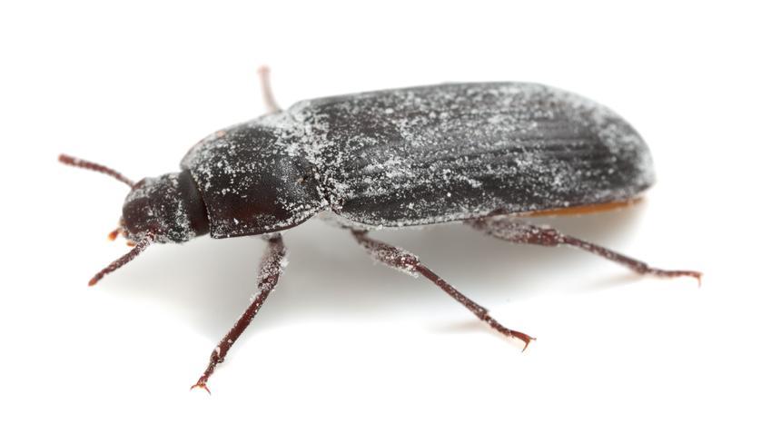 Mącznik młynarek na białym tle, a także larwy mącznika i ich zwalczanie