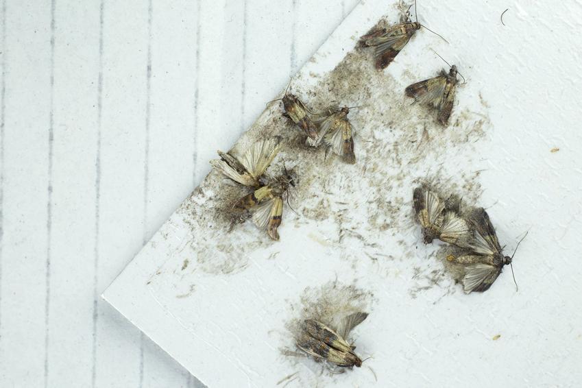 Motyle mklika mącznego w mące, a także mklik mączny i jego zwalczanie