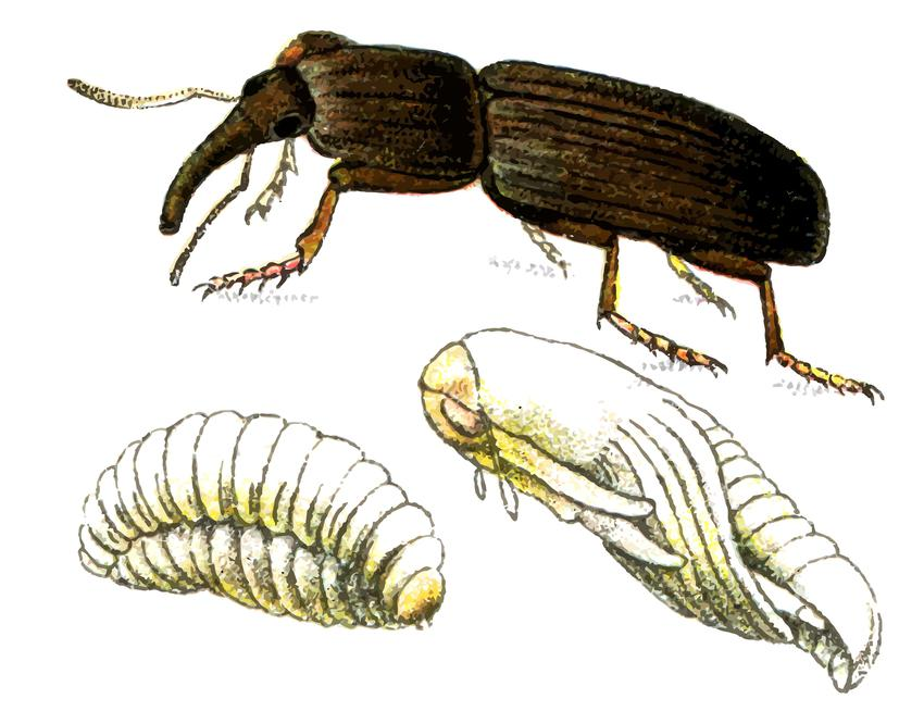 Wołek zbożowy i larwa na białym tle, a także wołek zbożowy, zwalczanie wołka zbożowego