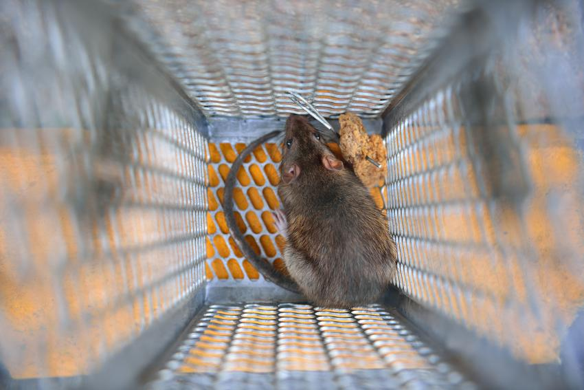 Szczur złapany w klatce, a także jak złapać szczura, jak zwabić szczura i zwalczanie szczurów