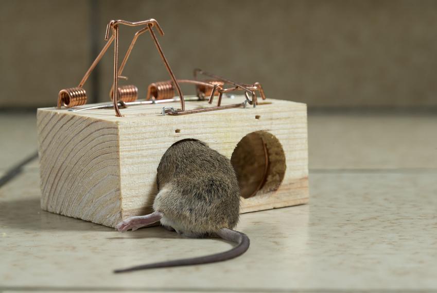 Szczur w pułapce, a także zwalczanie szczurów w domu i jak złapać szczura, jak zwabić szczura