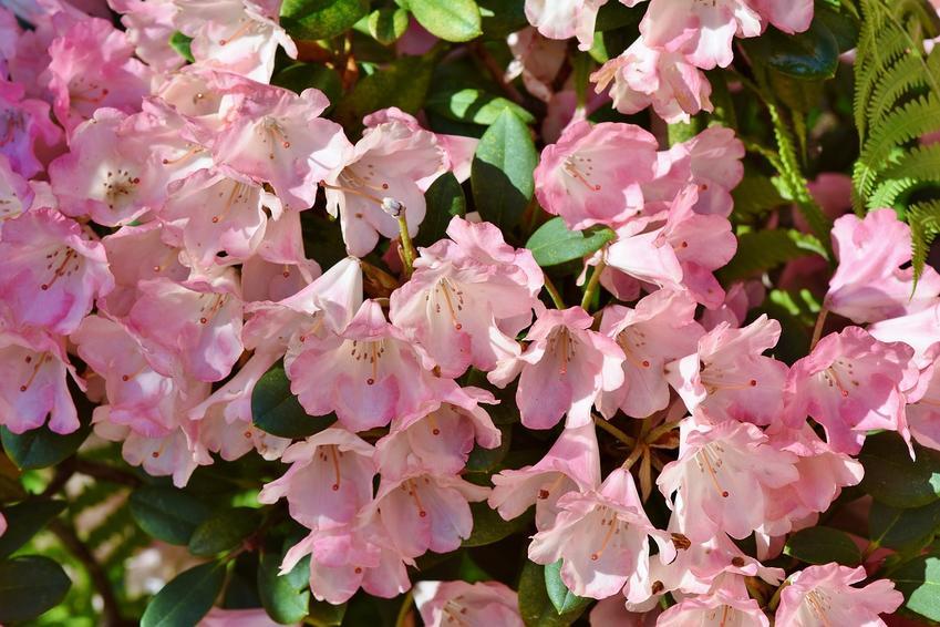 Różowa odmiana rododendronów w ogrodzie