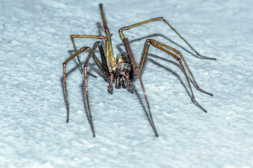 Agrestywny kątnik domowy na niebieskiej podłodze w domu oraz informacje o zwalczaniu pająka