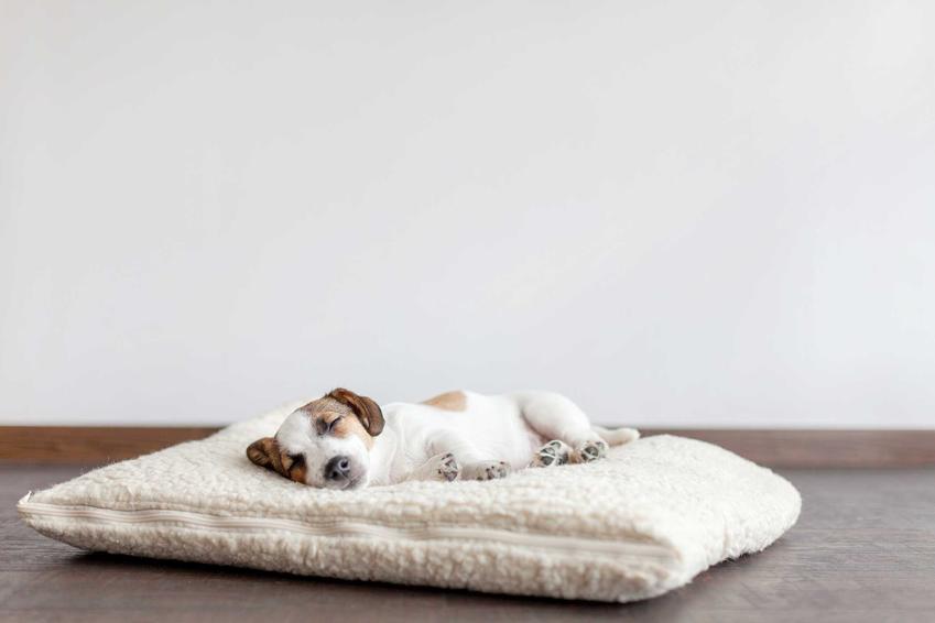 Pies leżący na samodzielnie zrobionym legowisku, a także wskazówki, jak uszyć legowisko dla psa