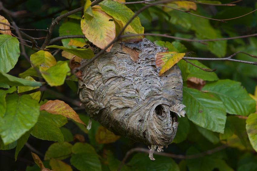 Gniazdo szerszeni w liściach na drzewie, a także bezpieczne usuwanie gniazda szerszeni