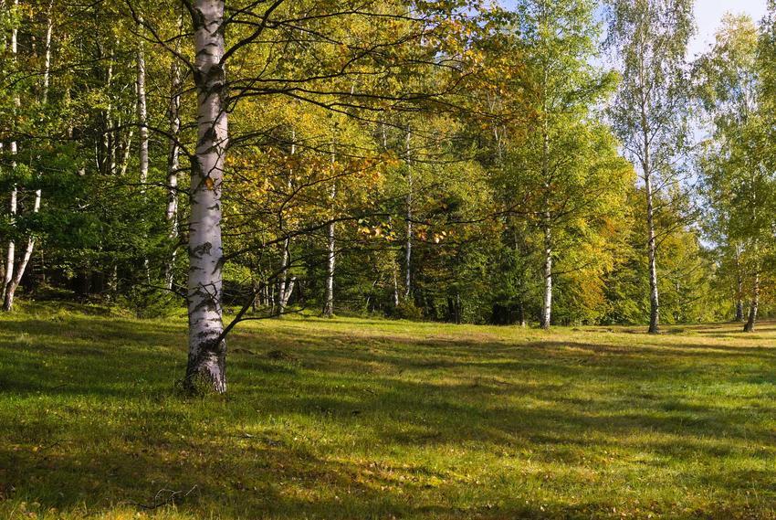 Brzozy w niewielkim lesie liściastym, a także sok z brzozy krok po kroku - pozyskiwanie, opinie, działanie i zastosowanie