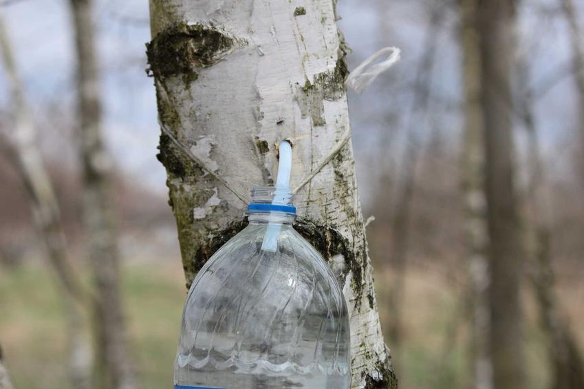 Pobieranie soku z brzozy do plastikowej butelki, a także jak pić, dawkowanie i zastosowanie soku z brzozy