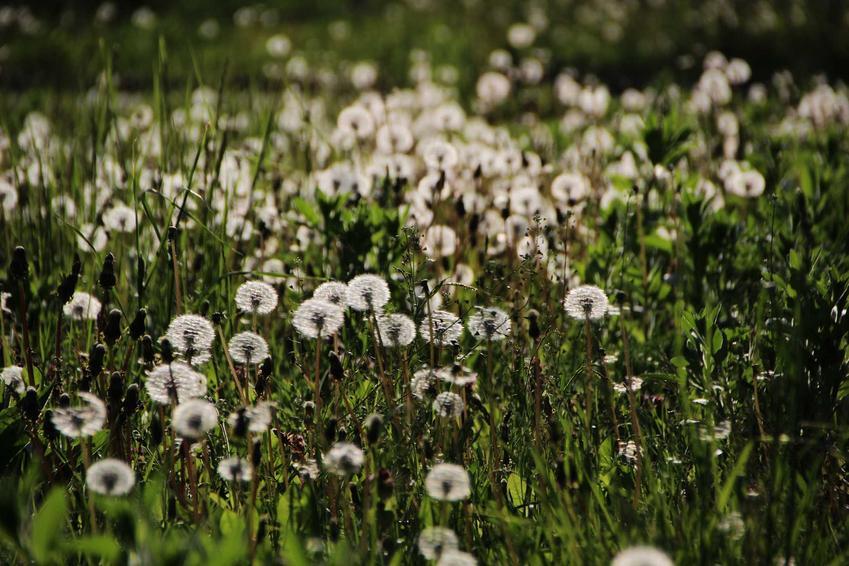Dmuchawce, czyli mlecze w czasie przekwitania, czyli pylenie mleczy oraz innych roślin - kalendarz pylenia dla alergików