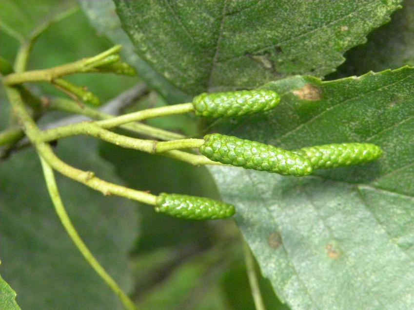 Owocniki drzew liściastych w czasie pylenia, a także pylenie innych roślin i kalendarz dla alergików