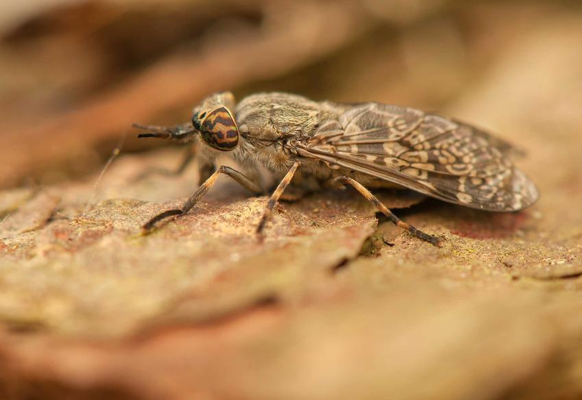 Mucha końska potrafi mocno ugryźć, rozpoznawanie ugryzienia muchy końskiej nie jest łatwe, najczęstsze objawy to obrzęk