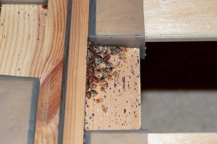 Pluskwy w łóżku, a także informacje, skąd się biorą pluskwy w mieszkaniu - 3 najczęstsze przyczyny pojawienia się owadów