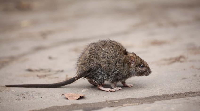 Szara mysz, jak pozbyć się myszy, gdzie można kupić trutkę na myszy i gdzie ją rozłożyć