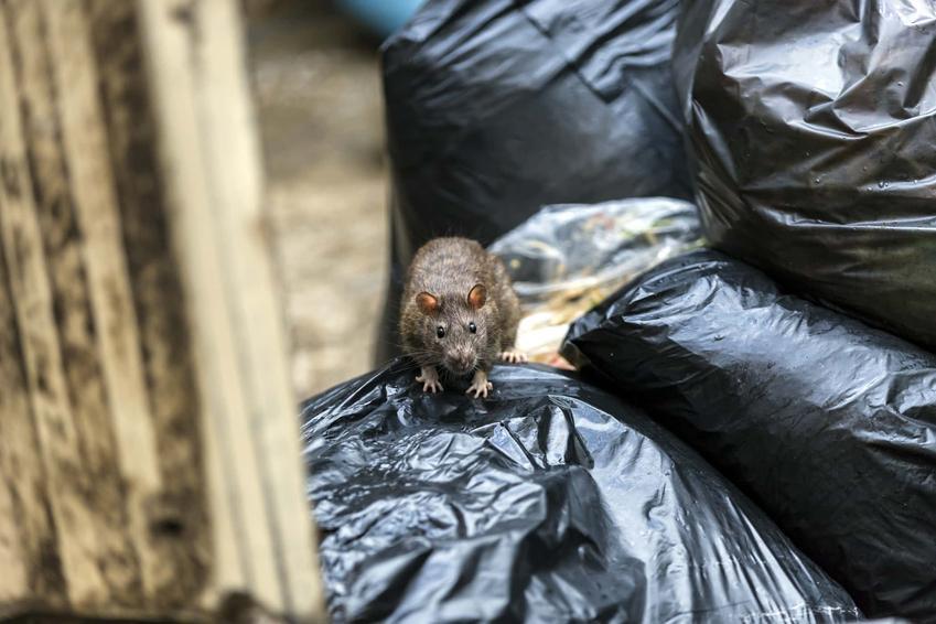 Szczur na stercie worków na śmieci, czy trutka na szczury jest szkodliwa dla ludzi, jak bezpiecznie rozkładać trutkę na szczury