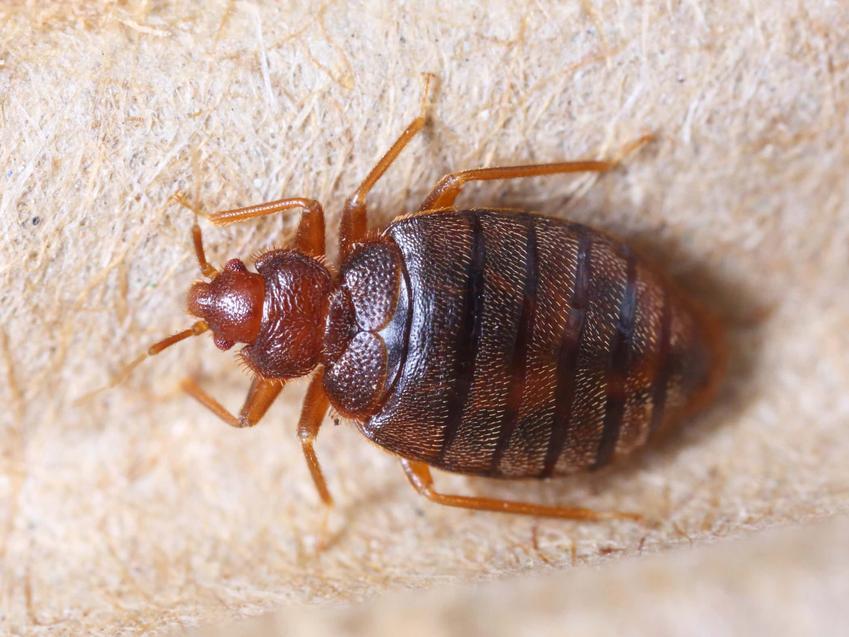 Mały brązowy robak czyli pluskwa, jak wygląda ugryzienie po pluskwie