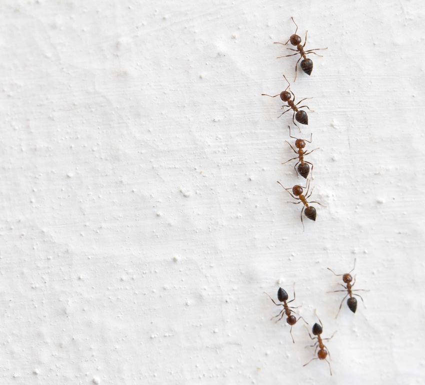Aby stworzyć pułapkę na mrówki w domu, trzeba wiedzieć, w jaki sposób działają insekty. Pułapkę można samodzielnie stworzyć i jest bardzo skuteczna