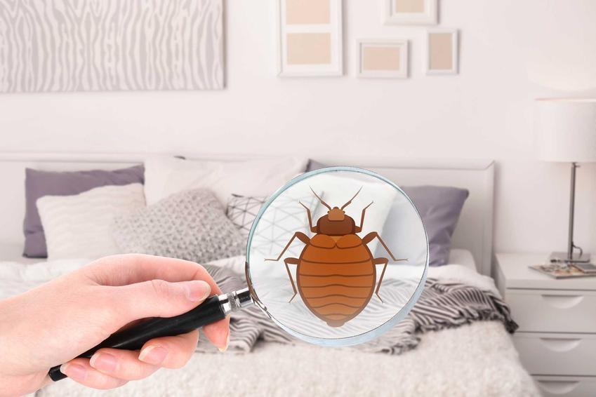 Pluskwy łóżkowe na tle sypialni, a także informacje o pluskwach - jak się ich pozbyć, wygląd, zagrożenie, szkodliwość, zwalczanie
