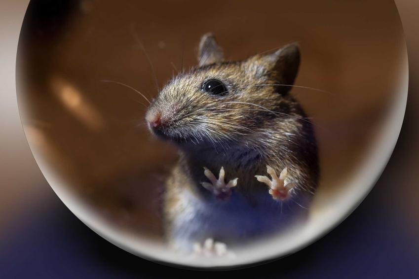 Mysz, która złapała się w żywopułapkę z butelki oraz porady, jak zastawić pułapkę na myszy domowymi sposobami