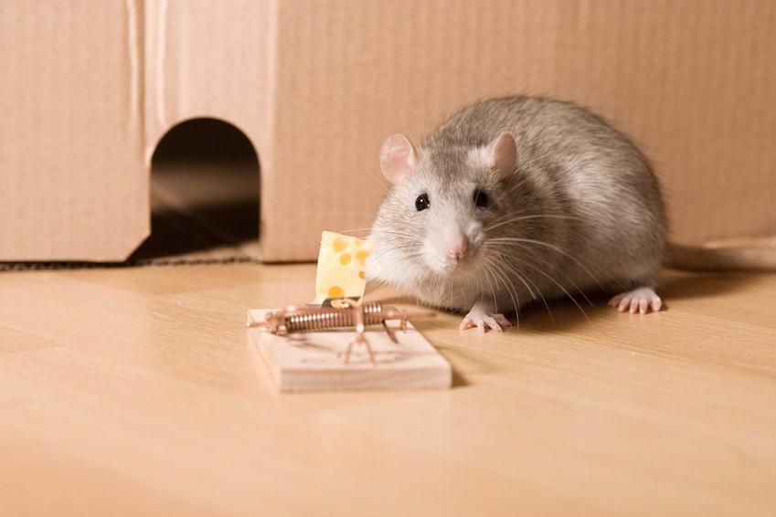 Mysz przy pułapce na myszy z serem oraz porady, jak zrobić i jak zastawić pułapkę na myszy krok po kroku