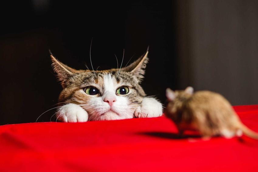 Kot czający się na mysz oraz porady, czym odstraszyć myszy w domu i w ogrodzie, oraz jak się ich pozbyć