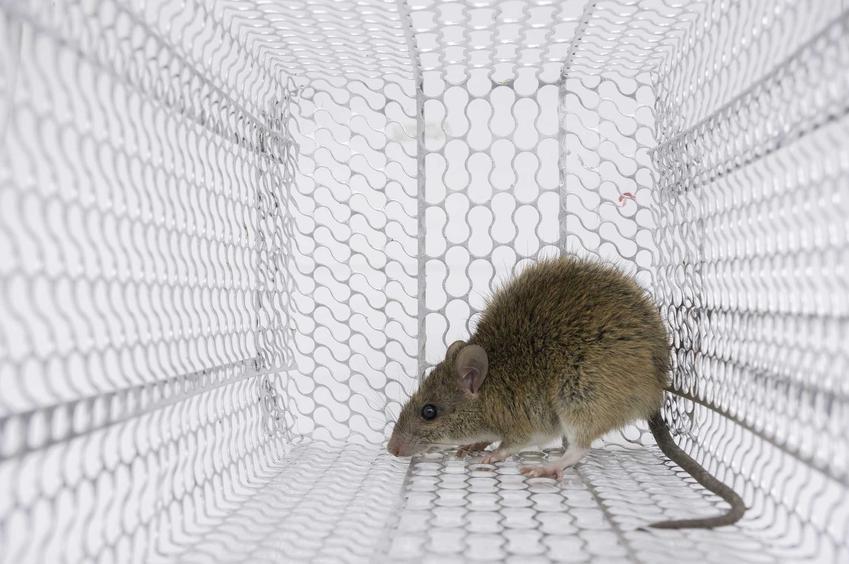 Mysz w drucianej pułapce oraz najlepsze domowe sposoby na walkę z myszami w domu i w mieszkaniu krok po kroku
