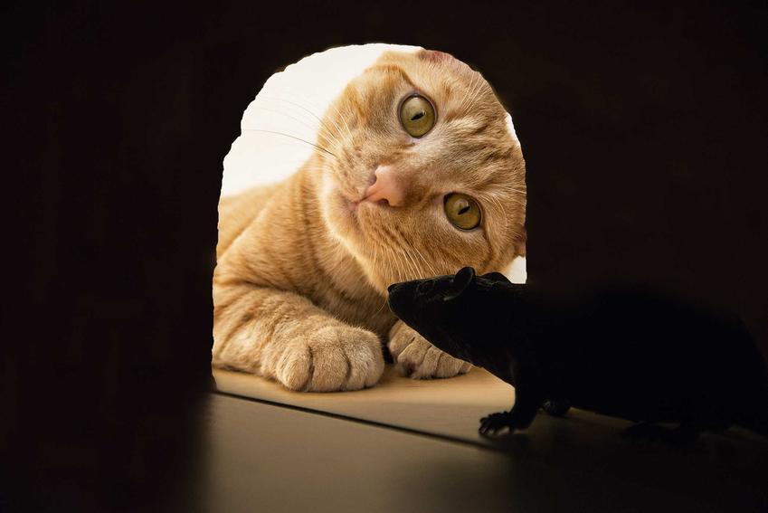 Kot czający się na myszy w domu oraz sprawdzone domowe sposoby na walkę z myszami w domu, a także inne metody na myszy