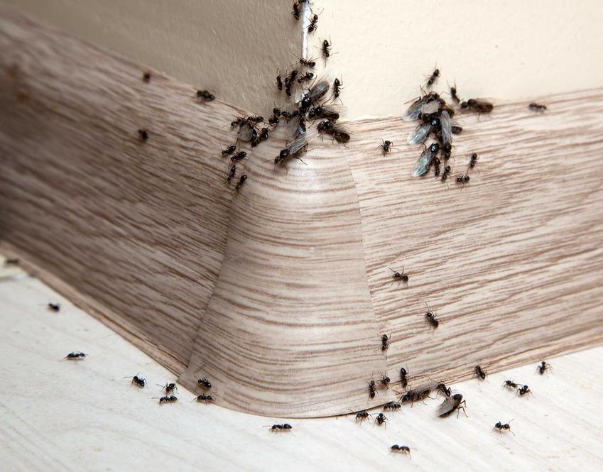 Mrówki w domu na listwie przypodłogowej oraz skuteczne środki na mrówki, w tym najlepszy preparat do zwalczania mrówek