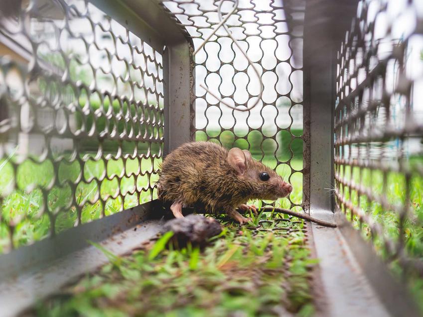 Pułapka na myszy z gryzoniem w środku oraz sprawdzone sposoby na to, jak złapać mysz w pułapkę