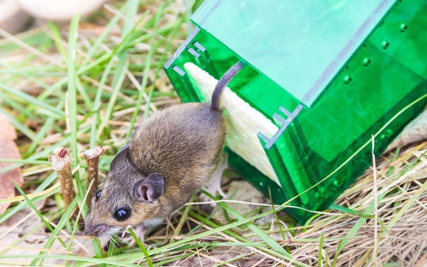 Pułapka na myszy z gryzoniem wypuszczanym na wolność oraz jak złapać mysz - sprawdzone sposoby i najlepsze porady