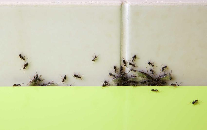Co odstrasza mrówki, czyli proszek do pieczenia na mrówki w domu, które gnieżdżą się przy płytkach w kuchni